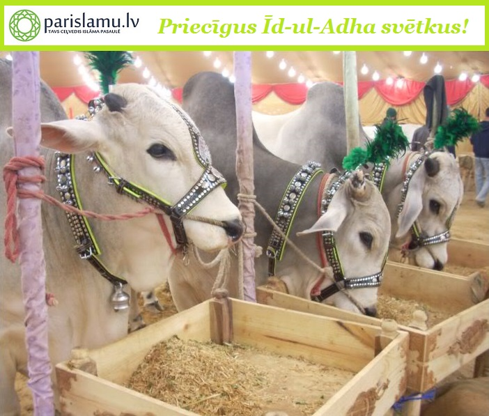 Decorated-Big-cattle-on-eid-ul-adha
